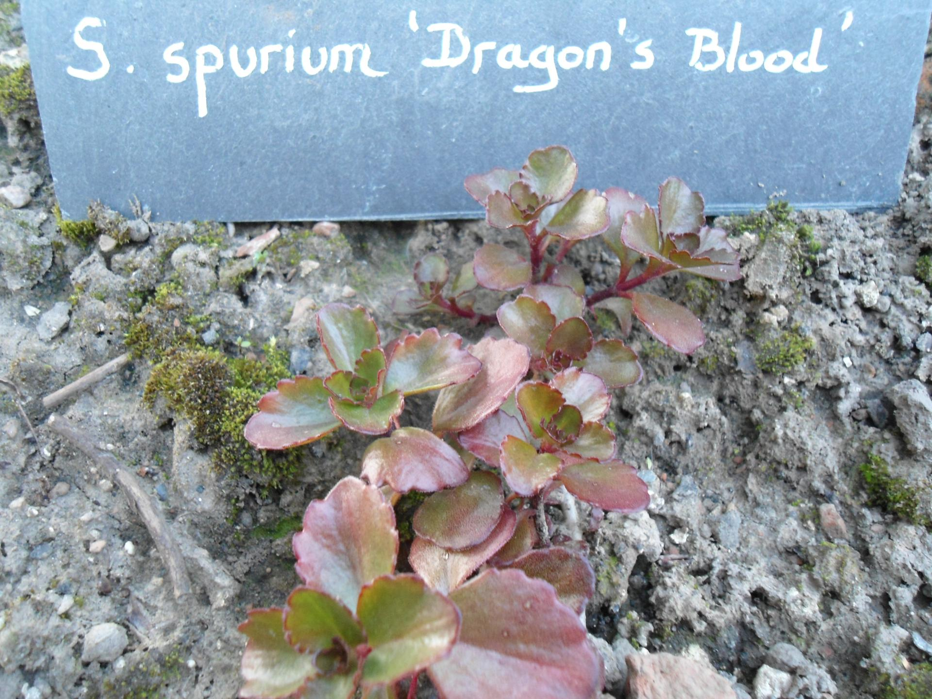 S spurium dragon s blood