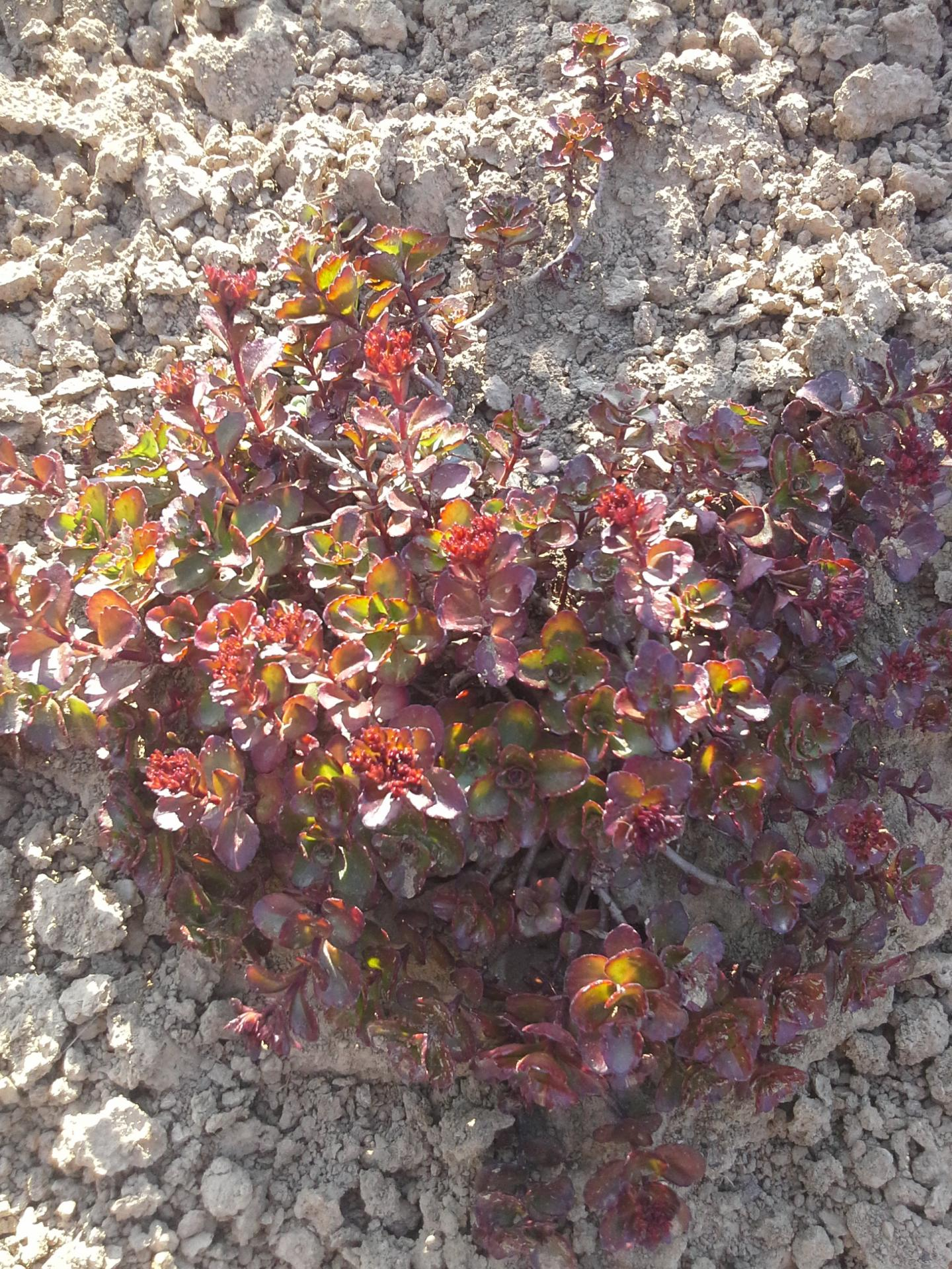 Sedum spurium dragon s blood