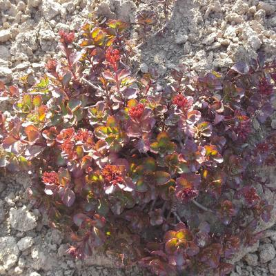 Phedimus spurium 'Dragon's Blood'